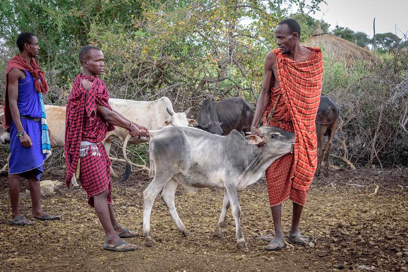 Preparing a calf for bleeding