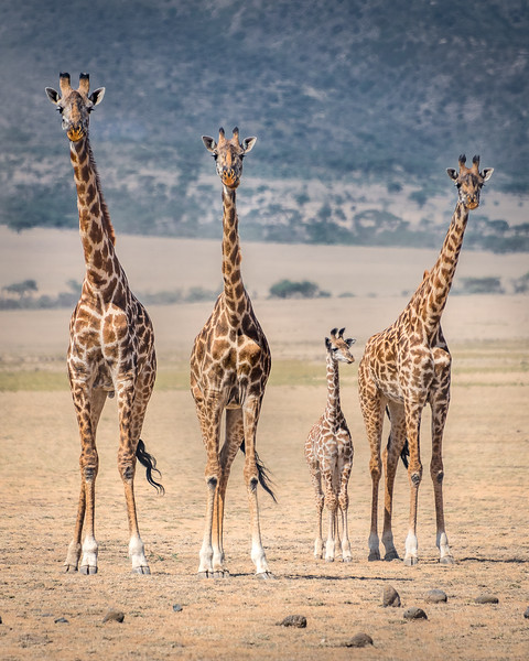 Giraffe family in Ngorongoro highlands