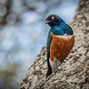 Superb Starling.  If only our American starlings were as colorful!
