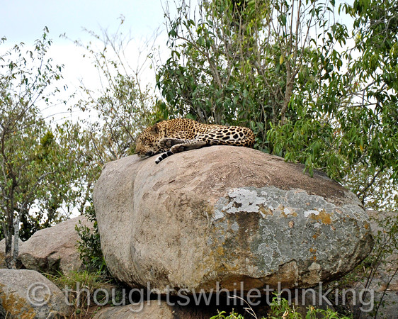Male Leopard resting for the next encounter.