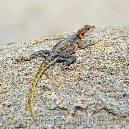 This is the female Mwanza Flat-headed Rock Agama, probably a partner with the male in the previous picture.