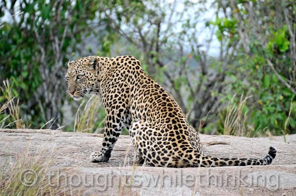Female Leopard.