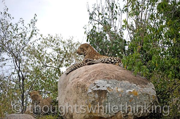 Male Leopard on the rock, the fertile female lurking below.