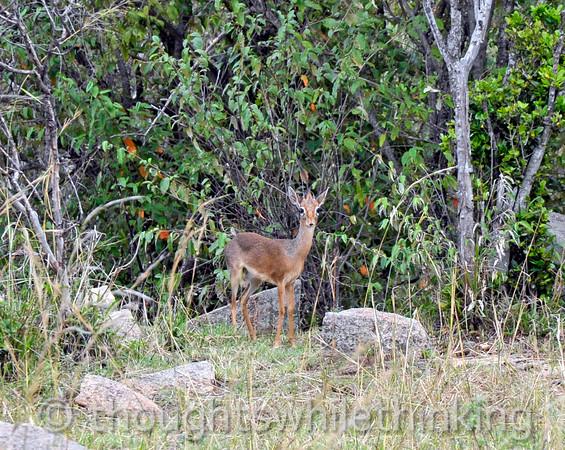 Kirk's Dik-dik, a tiny antelope.