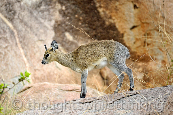 A Klipspringer/rock-hopper. The male and female have horns.