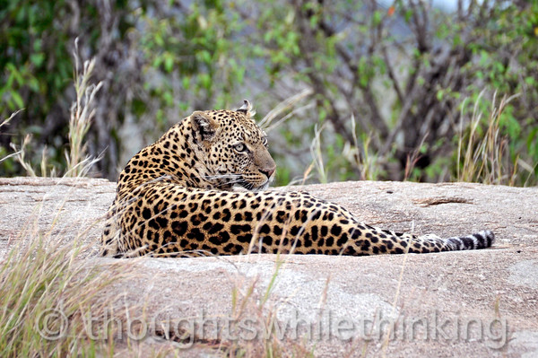 Female Leopard. Spots on the head and shoulders are singular and round, Spots in the mid-body and hip area are in small, joined groups or rosettes.