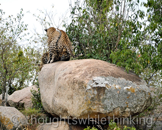 While this mating lasted only about 5 seconds, these episodes repeat up to four times an hour for up to 5 days. It is only the act of mating that causes the female to produce eggs. Plus, males tend to have weak sperm. So mating takes a while to achieve fertilization and little leopards.