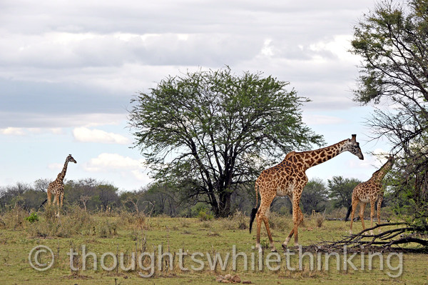 Maasai giraffe, the tallest living animal, and the tallest of the three giraffe species, up to 19 feet for the male.