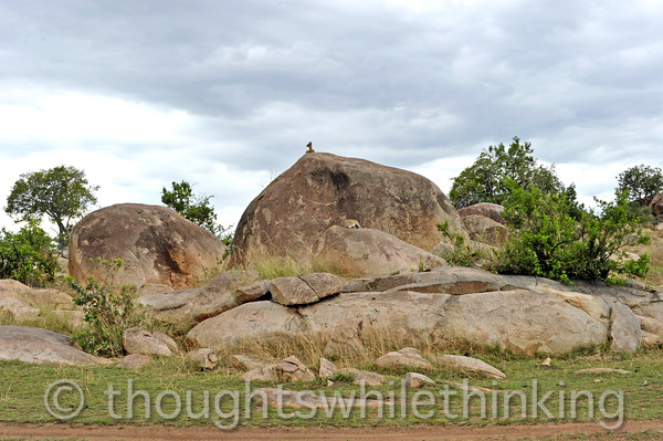 Our first view of a large kopjes, or island of granite rock. This one is complete with two Klipspringers, or rock-hoppers, a small antelope. They rarely drink water, getting most of their liquids from their plants they eat.