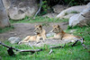 Two of the younger lions, not exactly cubs anymore, notice the male.