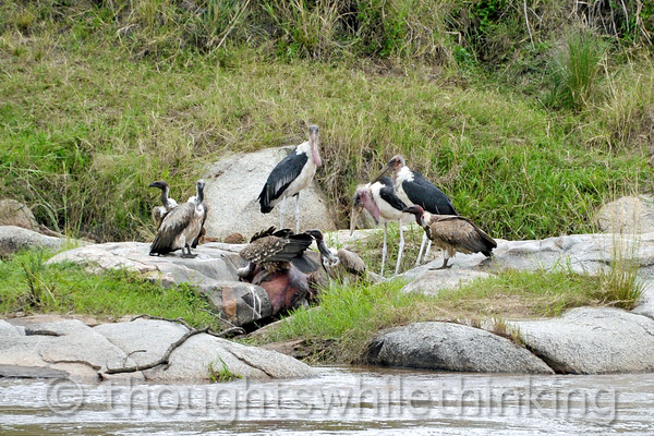 Marabou Storks and vultures clean up a carcass. The pecking order here is the somewhat combative vultures first and then the storks.