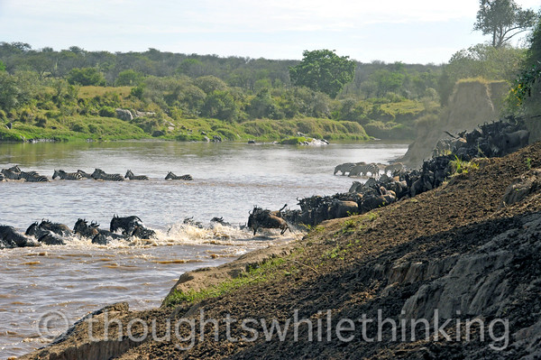The wildebeest tend to pile up at the edge of the river and then, with some pressure coming from behind, leap into the water, regardless of its depth. The zebra take a more leisurely approach to crossing, doing so after a welcome drink and upstream of the wildebeest tumult and the crocs that prey on them from the downstream side (to our left).