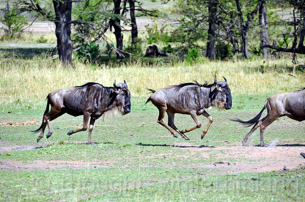Back on the south side, the wildebeest that did not cross seem to be in an uproar, racing back and forth with no apparent objective. Constant movement  is their way of life since migration is more or less a 12-month-of-the-year event.