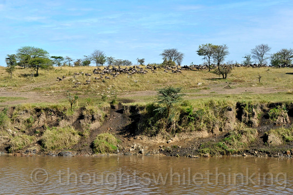The end of this crossing sees those that crossed meandering around, organizing a herd to move further north towards the Maasai Mara in Kenya.