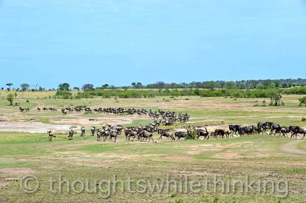 A south-side herd is forming up and moving towards another crossing spot. The Mara River is just in front of the line of dark green trees on the horizon.