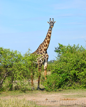 Maasai Giraffe wondering what all the excitement is about.