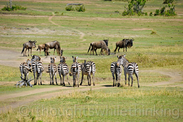 Zebra sizing up the wildebeest herd formation and movement, although the ones just in front of them do not seem to be going anywhere.
