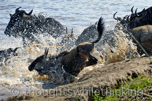 Lots of splash on entry - not bad for a wildebeest off the 1 meter board.