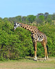 Per Albert, the Maasai Giraffe is the national animal of Tanzania.