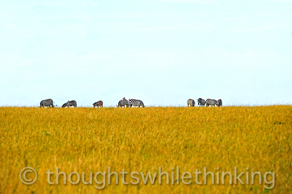 A dazzle (herd) of Plains Zebras. When spooked by a lion, the principal predator of zebras, the herd stays more or less together, making it more difficult for the color blind lion to pick out its prey in the jumble of black and white stripes.