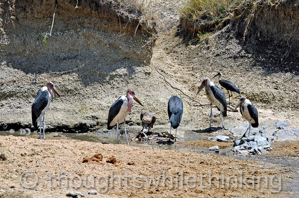 Five adult and one immature Marabou Storks wait for the vulture to finish. If there were a few more storks, they could chase the vulture away.
