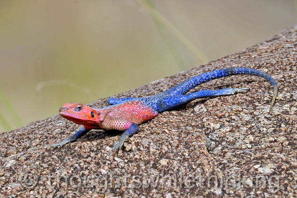 Mwanza Flat-headed Agama.