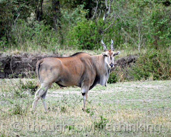 An older male Eland, like this one, can weigh a ton.