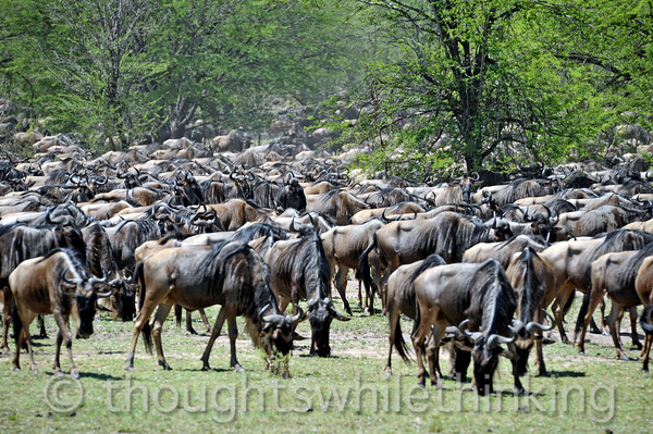The wildebeest that have not yet crossed the river gather and mill about, grazing at a slow gait.