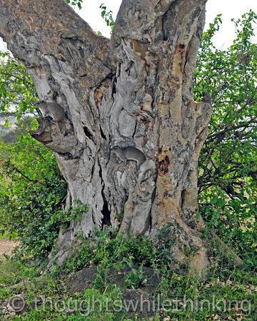 Two Bush Hyrax posing on an old tree.