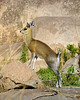Klipspringer or Rock Hopper perched on the tips of its hooves.