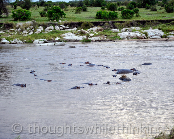 Mara River Hippos in sort of a circle at 6:25 pm. ???