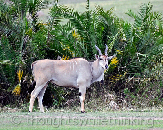 Elands are the largest antelope anywhere.