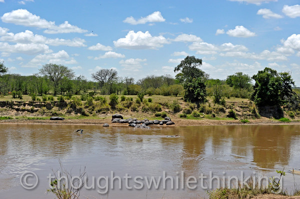 12:12 pm and the hippos are snoozing on the Mara River bank, except for one youngster playing in the water.