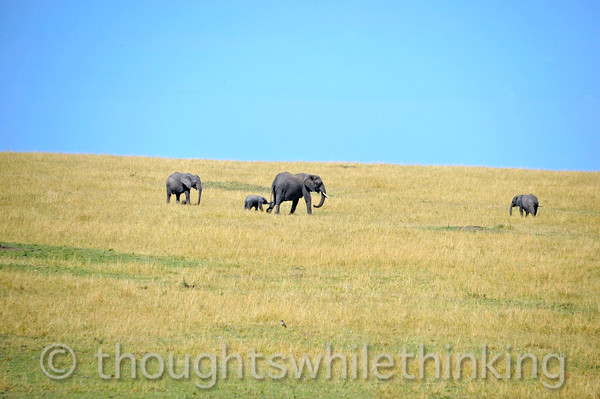 Elephants on the move towards shade as the heat of the day draws near.