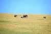 Elephants on the move towards shade as the heat of the day draws near.