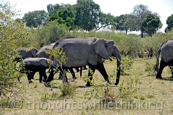 The high-water mark makes for two-toned elephants. The matriarch, having led them to a drink and cooling off in the river, now leads them to lunch in the trees.
