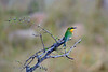 Little Bee-eater waiting for a bug to fly into range.