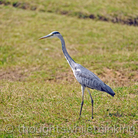 Gray Heron stalking snakes in the grass.