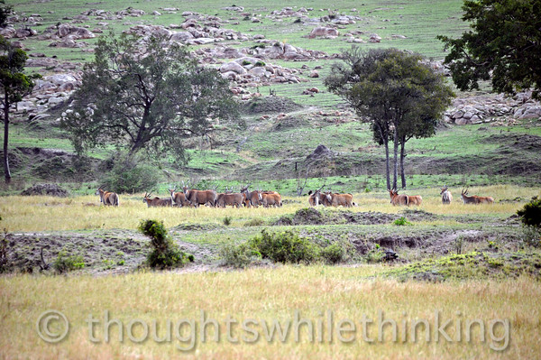 A moderate-sized herd of Eland.