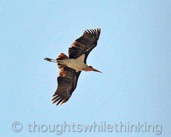 Marabou in flight.