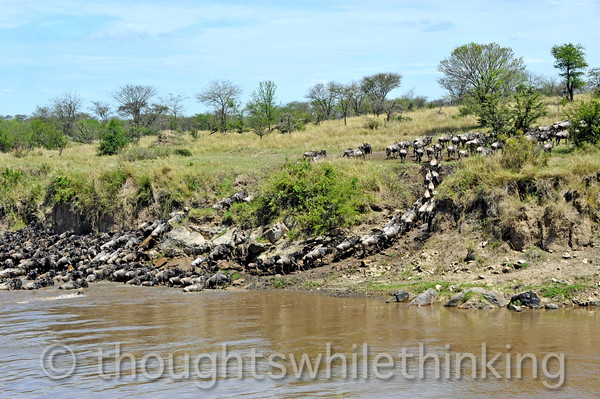 Wildebeest piling up at an open spot on the far left that has no exit to higher ground while a trickle of animals escape from the bank thru a narrow opening that is hard to get to.