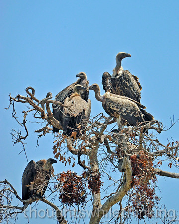 Ruppel's (cream-colored bill) and White-backed (black bill) Vultures.