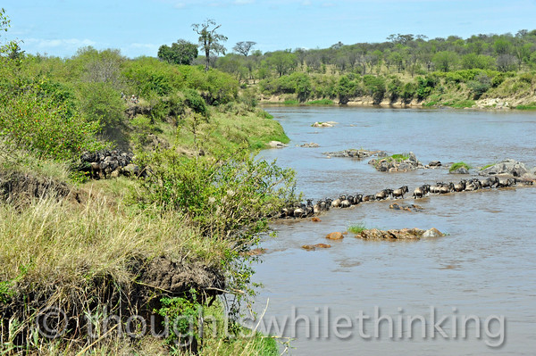 We arrived at 10:56 am at this difficult crossing after it was well underway. Fewer wildebeest were taking part as compared to the one earlier in the day.
