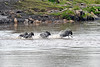 But wait! Still fired up about crossing the river, five wildebeest charge out of the destination in reverse back to where they started!!
