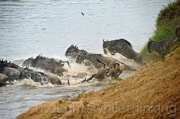 Two energetic wildebeest take the plunge head-on.