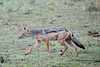 7:13 am and a Black-backed Jackal is on the hunt.