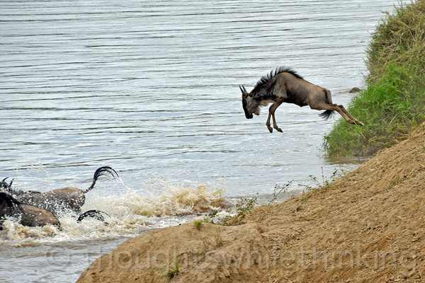 A more casual approach to wildebeest dunking. Looks like fun!