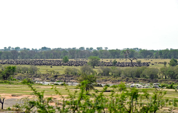 View from the north side of a huge herd of wildebeest on the south side going back and forth, working up a head of steam for another crossing. But that could be hours from now.