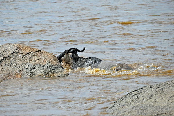 Resting for a moment in the lee of a large rock, the wildebeest catches its breath.