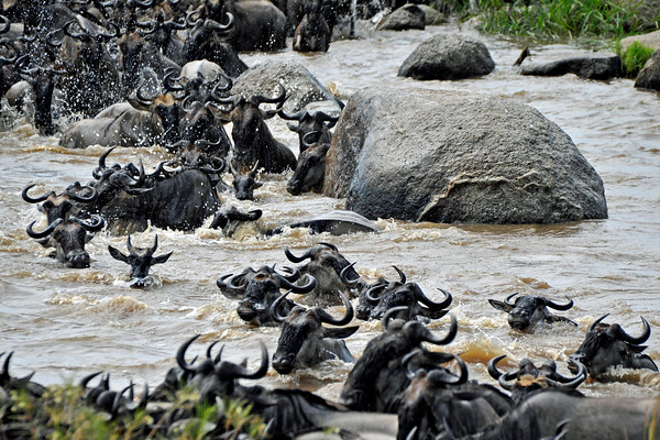 An adult wildebeest is attacked by a crocodile below the surface. It spins him 90 degrees clockwise, facing upstream instead of across the river, and pulls him onto his side.